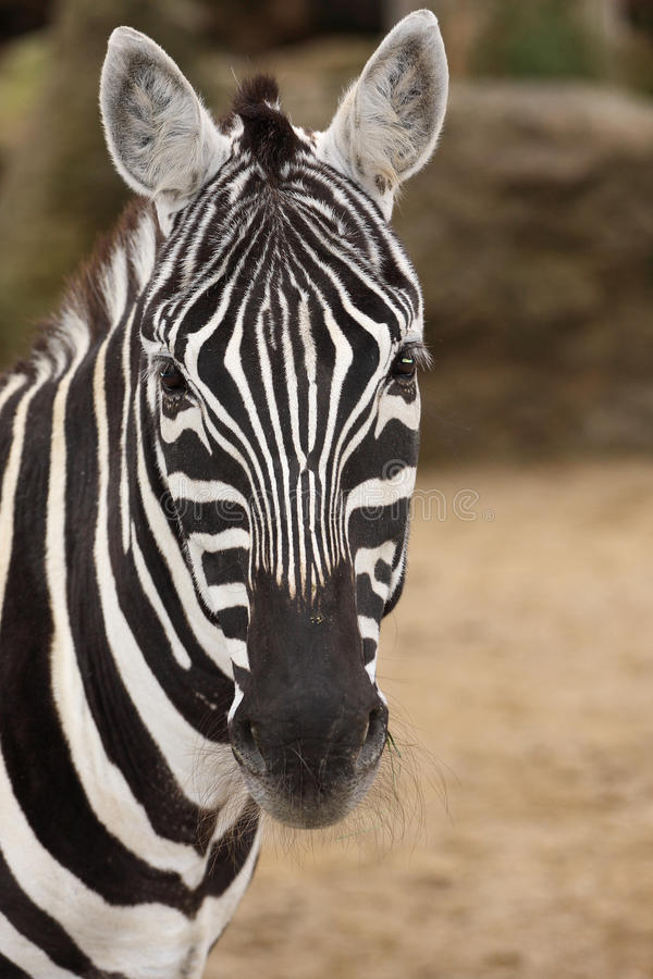 Download Zebra stock photo. Image of creature, close, looking - 30353474