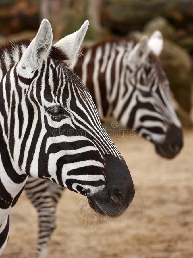 Download Zebra stock image. Image of design, fashion, portrait - 30353669