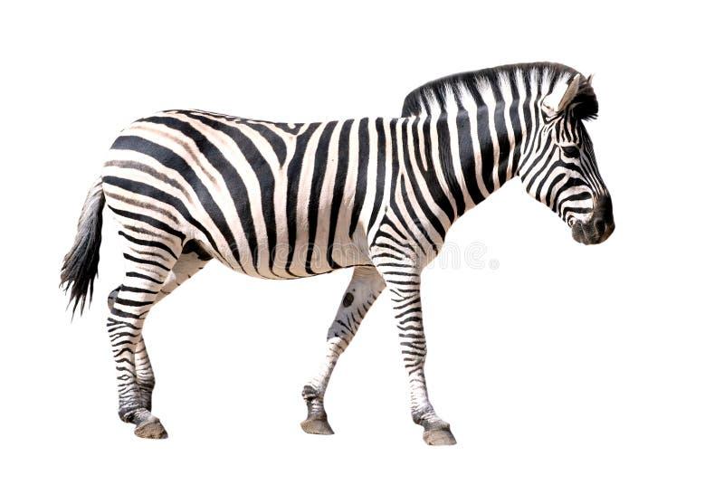 Zebra isolada