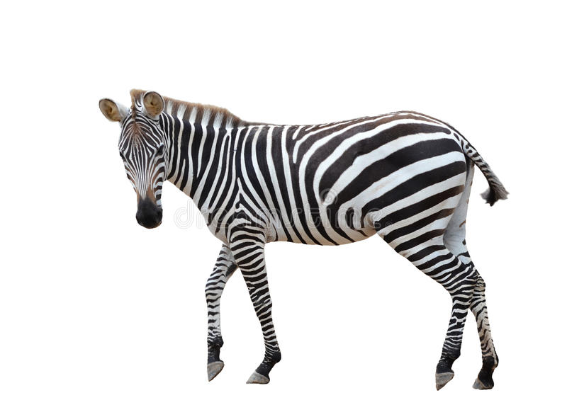 Zebra isolada imagens de stock