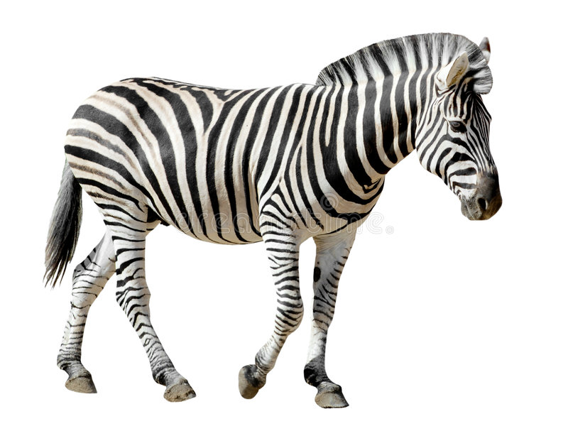Zebra isolada de Burchell imagens de stock royalty free