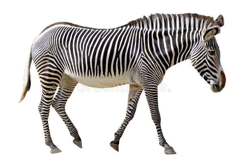 Zebra isolada de Grevy foto de stock royalty free