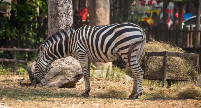 Zebra isolada que come a grama fotografia de stock royalty free