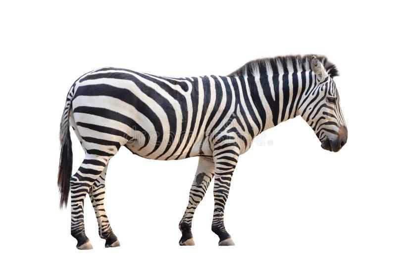 Download Zebra isolata fotografia stock. Immagine di bianco, bellezza - 30828690