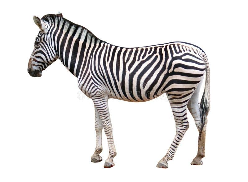 Zebra isolata fotografia stock