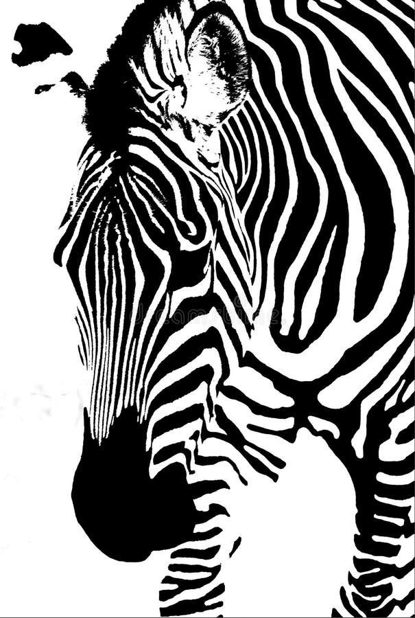 Zebra isolata su bianco fotografia stock libera da diritti