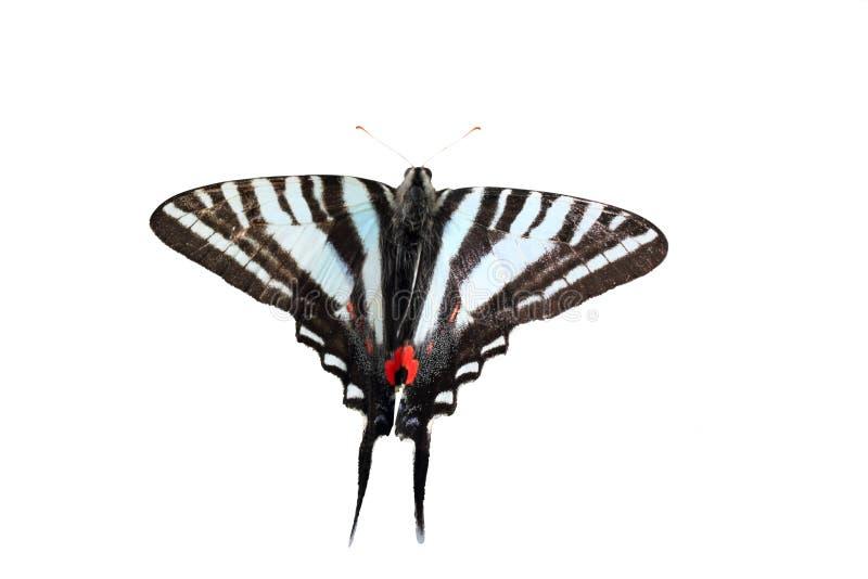 Zebra isolata Swallowtail immagine stock libera da diritti