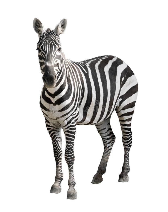 Zebra isolated on white stock photo