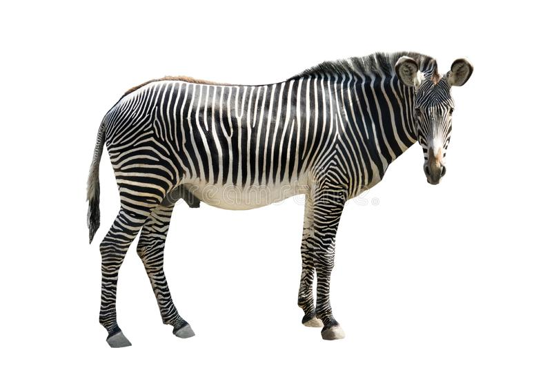 Zebra isolated on white. Grevys zebra Cquus grevyi isolated on white background stock photo