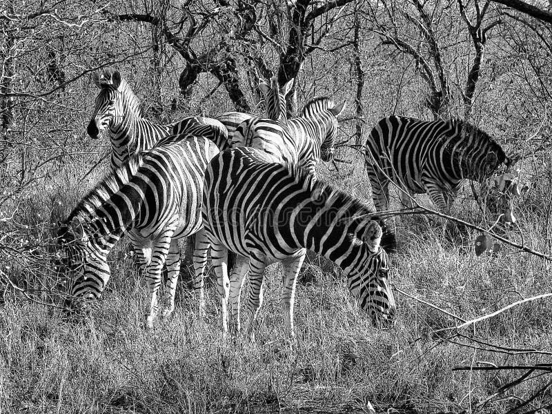 Zebra juczny lider obraz royalty free