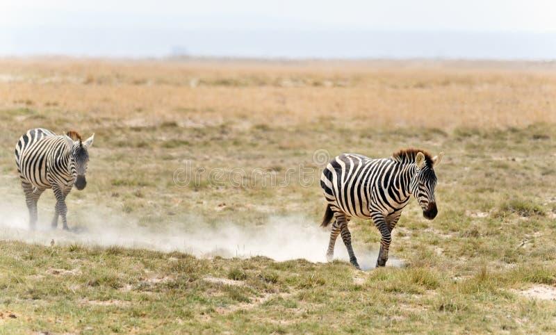 Zebra in Kenia lizenzfreies stockbild