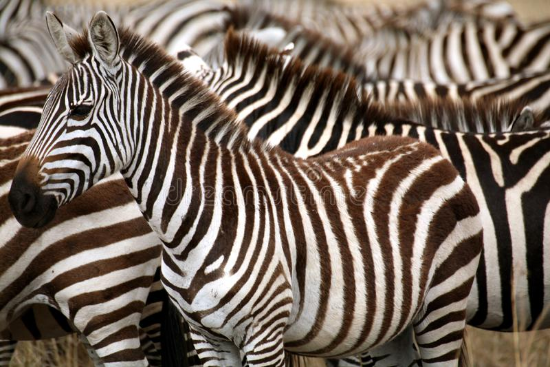 Zebra (Kenya) fotografia stock