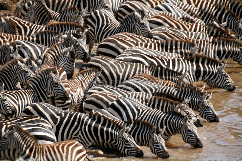 Zebra (Kenya). Zebra drinking water in the Masai Mara Reserve (Kenya stock image