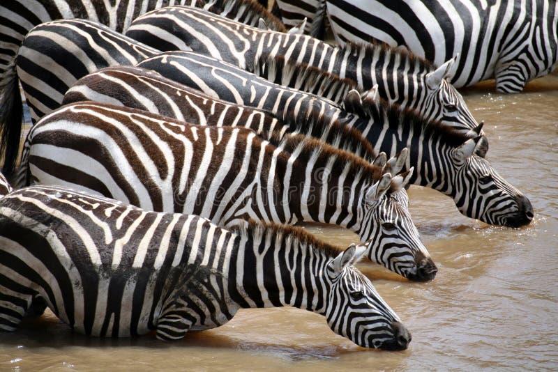 Zebra (Kenya). Zebra drinking water in the Masai Mara Reserve (Kenya royalty free stock image