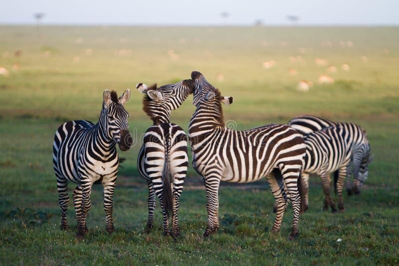 Zebra Kiss stock image