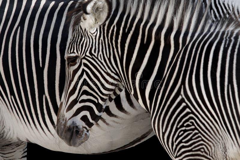 Zebra-Kopf stockbild