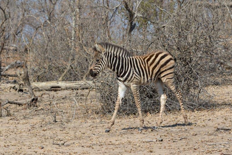 Zebra Kruger national Park royalty free stock image
