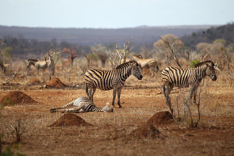Zebra in Kruger National Park. Common Plains Zebra in Kruger National Park stock photo