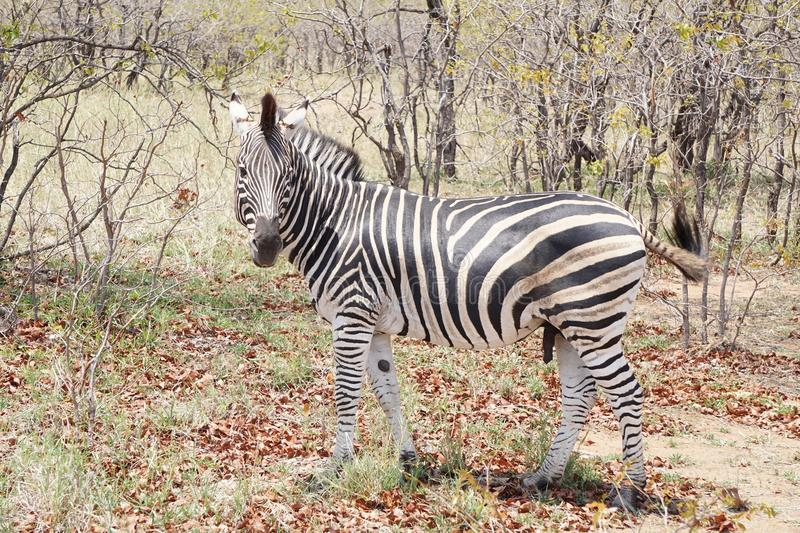 Zebra in Kruger National Park royalty free stock photography