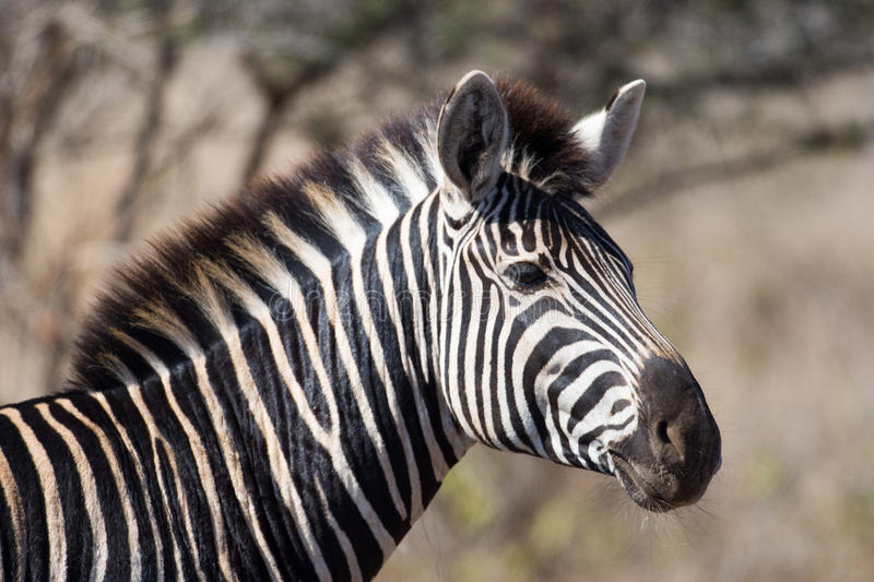 Zebra in Kruger National Park royalty free stock image