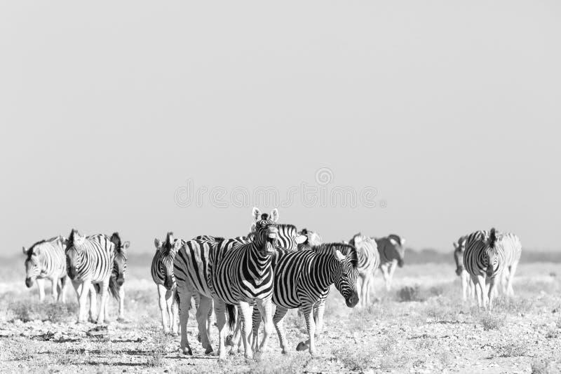 Zebra-Lächeln stockfotos