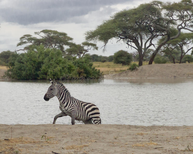 Zebra at a lake stock photography