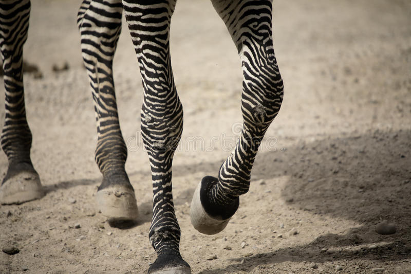 Download Zebra legs walking stock photo. Image of zebra, wild - 11233774