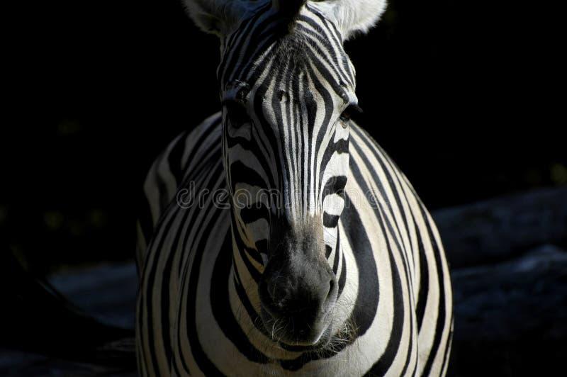 Zebra in licht en dark royalty-vrije stock afbeelding
