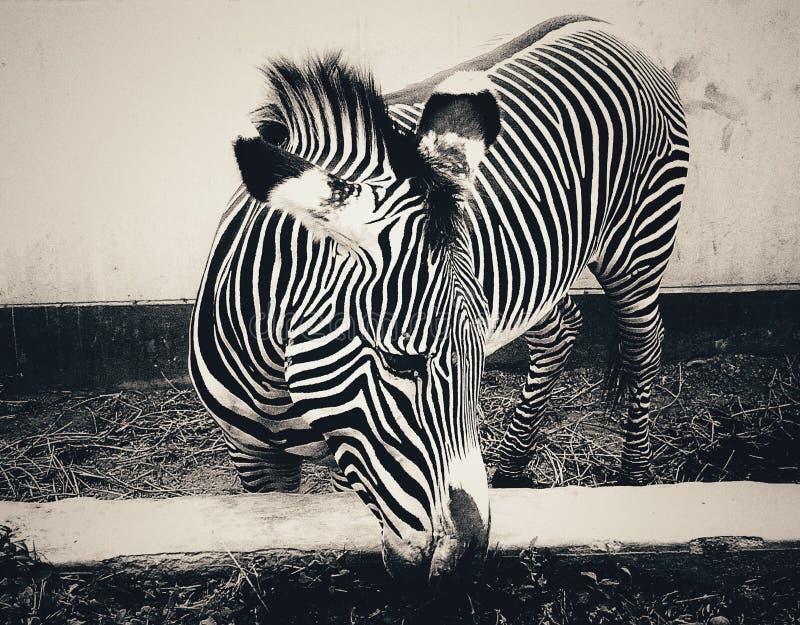 Zebra in Lima stockbilder