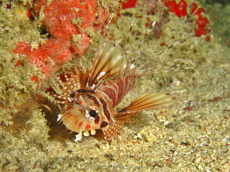 Download Zebra Lionfish stock photo. Image of sealife, orange, underwater - 2447426