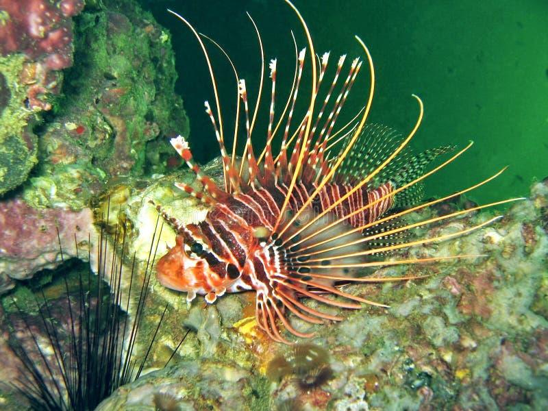zebra lionfish obraz stock
