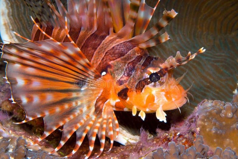 Download Zebra Lionfish (Dendrochirus Zebra) Stock Photo - Image of manilla, site: 9032418