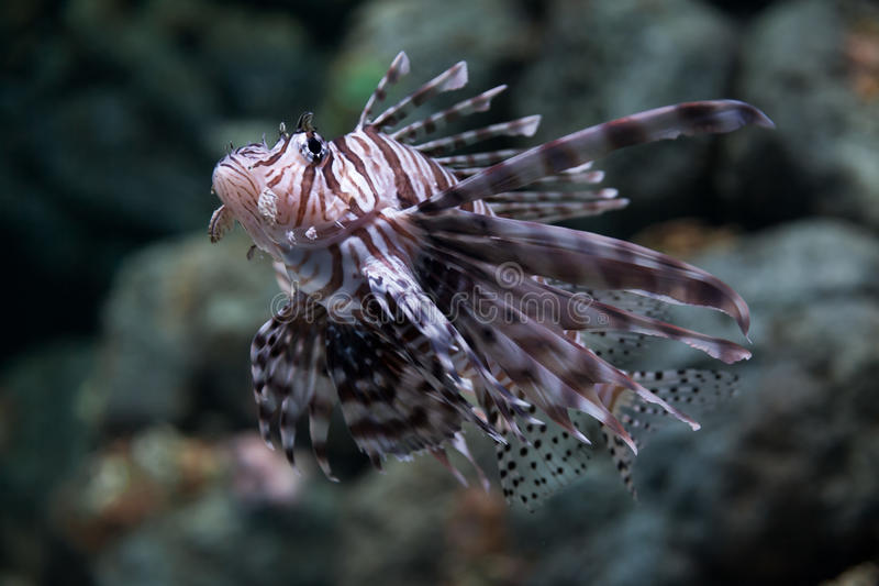 Download Zebra lionfish stock image. Image of fish, environment - 35914929