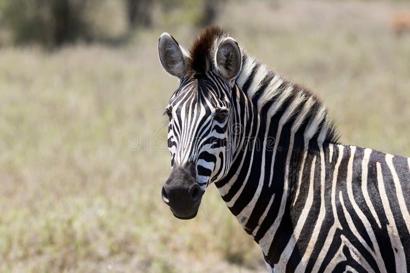 Zebra listrada preto e branco no parque África do Sul de Kruger fotos de stock