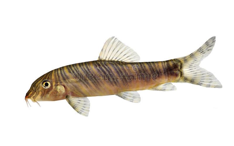 Zebra loach catfish Botia striata aquarium fish. Fish stock image