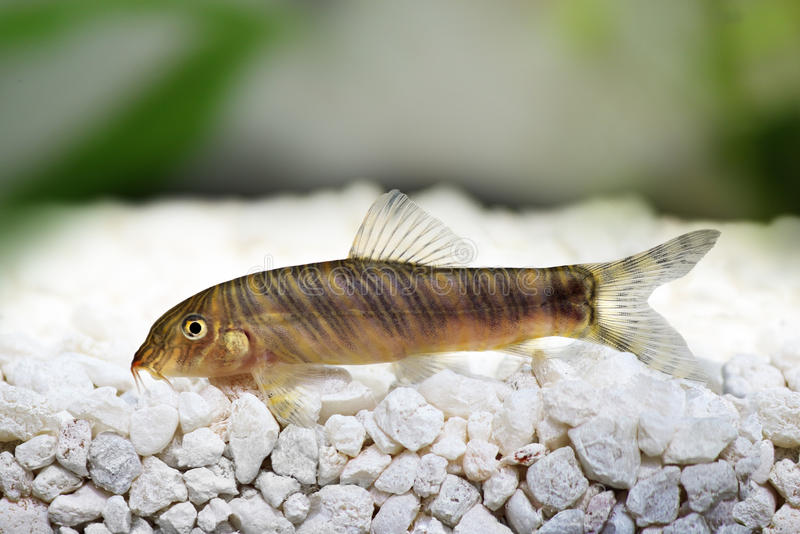 Zebra loach catfish Botia striata. Swimming royalty free stock photo