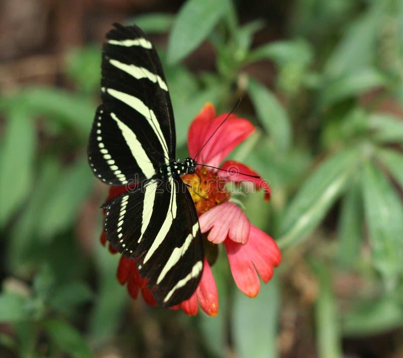 Zebra Longwing foto de stock