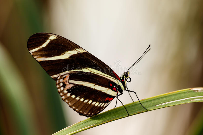 Zebra Longwing Butterfly balanced on a leaf. royalty free stock image