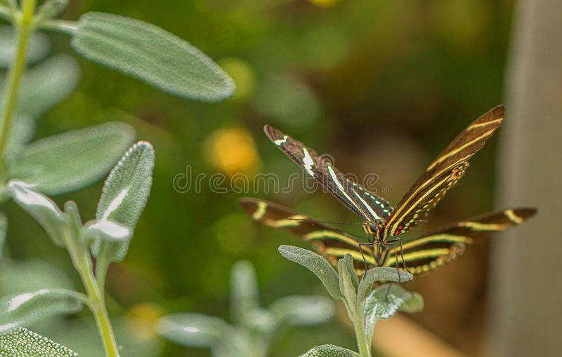 Zebra Longwing Butterfly Being Stalked by Another, Zebra Longwing Arizona Desert royalty free stock image