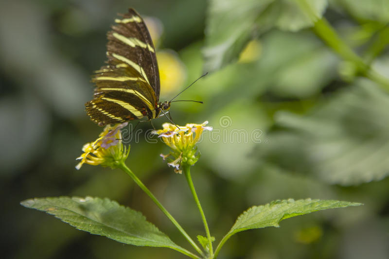 Zebra Longwing Butterfly Feeding. Fluttering its aging ragged wings while feeding on nectar of lantana with its proboscis, this black and yellow striped royalty free stock photo