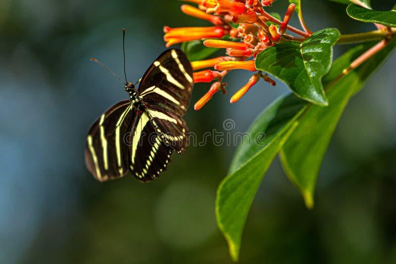 Zebra Longwing Butterfly Finding Nectar on Firebush Flowers, Lake Seminole Park, Florida stock afbeeldingen
