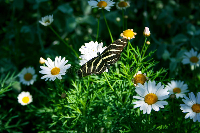 Zebra Longwing Butterfly royalty free stock photography