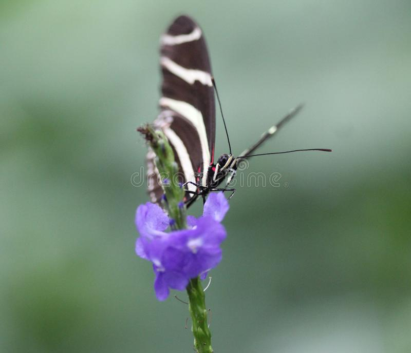 Zebra longwing butterfly, Heliconius charithonia royalty free stock photo