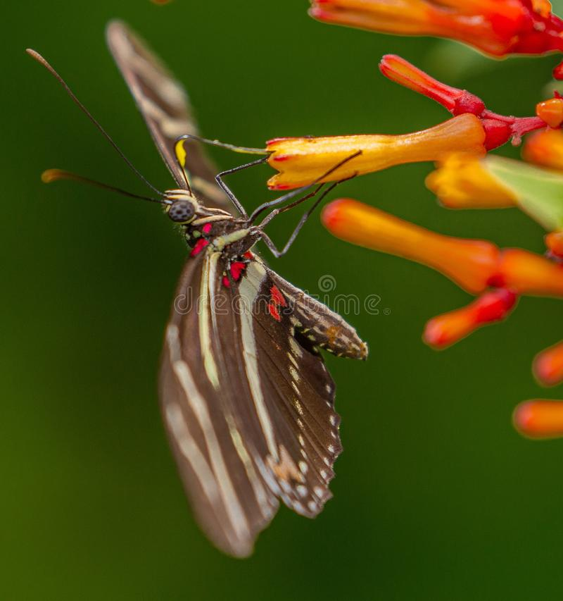 Zebra longwing butterfly, Heliconius charithonia, Heliconius charithonia sipping nectar from Firebush stock photos