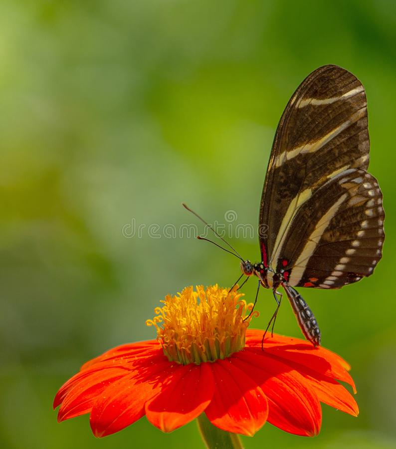 Zebra longwing butterfly, Heliconius charitonia on Mexican Sunflower stock image