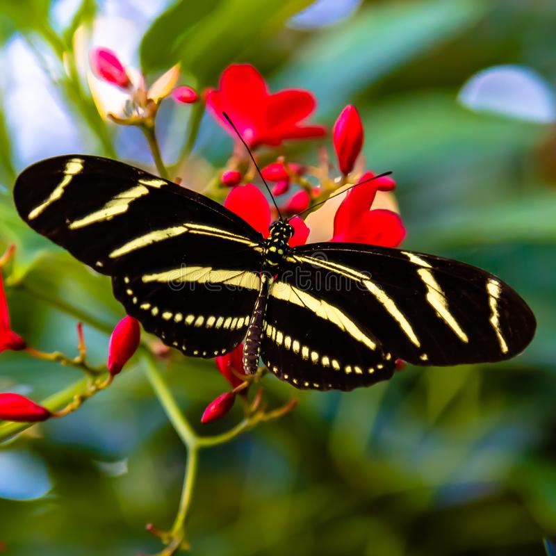Zebra longwing butterfly Heliconius charitonia stock images