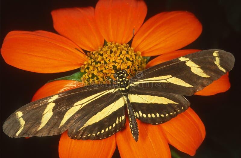 Zebra Longwing butterfly. stock photography