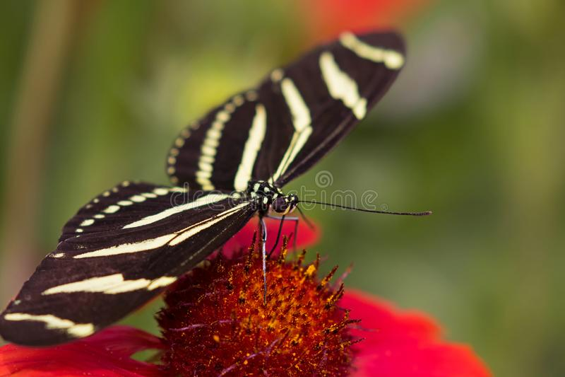 Zebra longwing butterfly on a red orange flower. royalty free stock photography