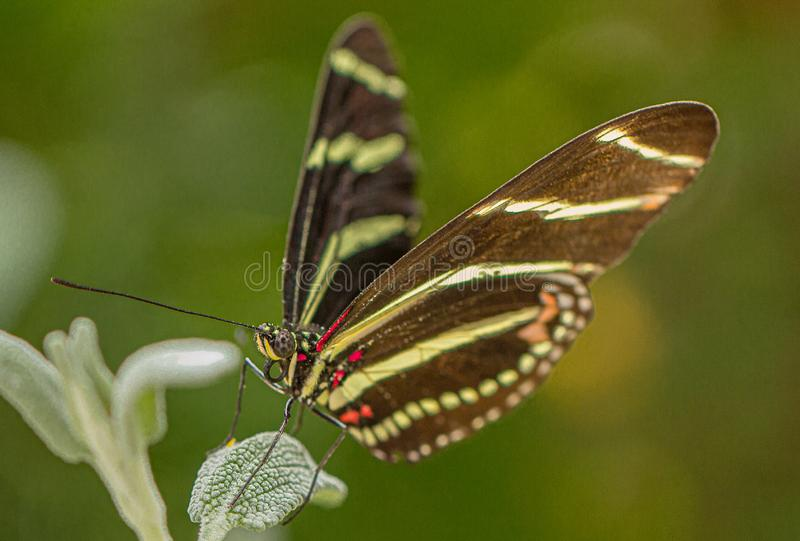 Zebra Longwing Butterfly on Sage in Arizona Desert stock photography