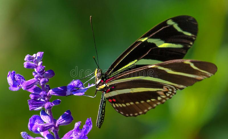 Zebra Longwing Butterfly on Salvia stock image